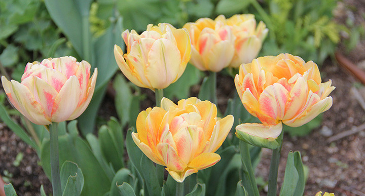Forcing Spring Bulbs for Winter Enjoyment